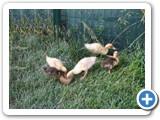 Yeni Ördek Yavruları
