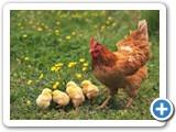 Ala Tavuk ve Yavruları